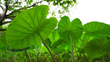Fresh And Green Taro Plant In A Field