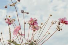 Poppy Flowers In The Wind
