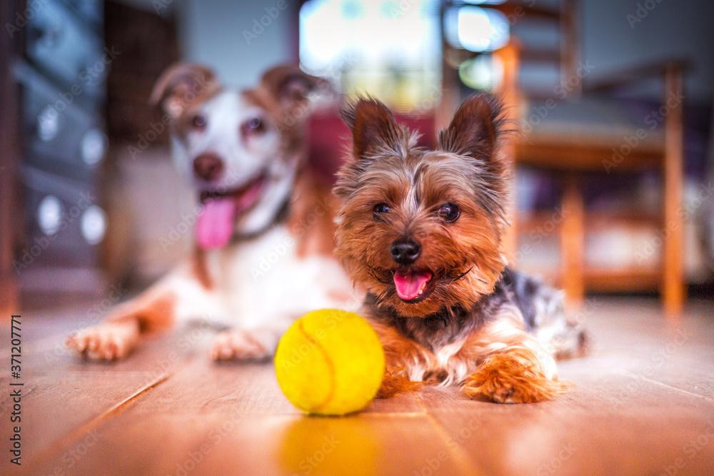 Fototapeta Perros con pelota