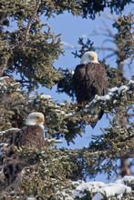 Bald Eagle Perched On Log, Taken In SE Alaska