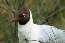 A Portrait Of A Black-headed Gull, Chroicocephalus Ridibundus In A Marshland, Northern Europe.