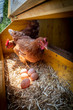 canvas print picture - chicken with eggs in henhouse