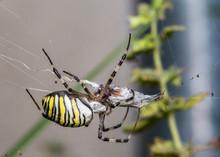Wasp Spider - Argiope Bruennichi With His Prey.