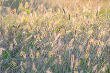 Midwestern Tall Grass Meadow With Golden Hour Sun Backlight.  Abstract View Of Natural Grass Tops That Fill The Frame With Texture And Color.
