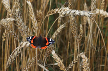 European Red Admiral Butterfly, Vanessa Atalanta Resting On A Ripe Crop Straw In Estonian Crop Field.