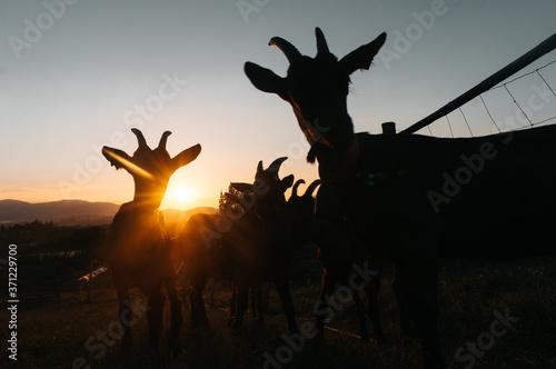 Papel de parede Siluetas de cabras al atardecer