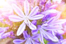 Close-up Of Purple Agapanthus Flowers, Soft Light, Nostalgic And Romantic Background Texture.