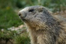 The Muzzle Of An Alert Groundhog Looking Around In The Mountains
