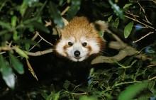 Red Panda, Ailurus Fulgens, Adult Standing In Tree