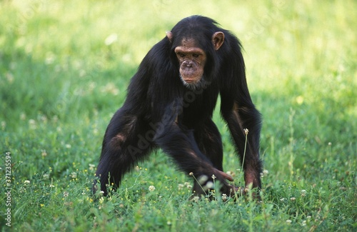 Fotografiet Chimpanzee, pan troglodytes, Adult standing on Grass