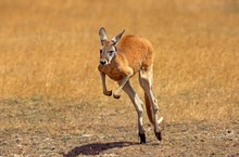 Red Kangaroo, Macropus Rufus, ...