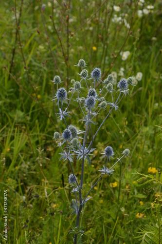 Obraz na plátně flowering Eryngium campestre - plant of the umbelliferous family, against a back