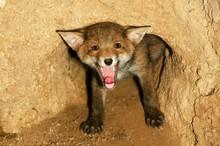Red Fox, Vulpes Vulpes, Cub Ya...