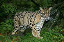 Clouded Leopard, Neofelis Nebulosa, Adult Standing In Ground
