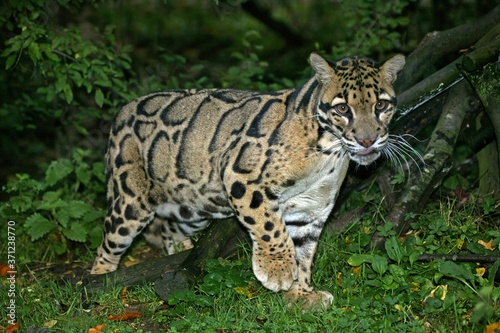 Cuadros en Lienzo Clouded Leopard, neofelis nebulosa, Adult standing in Ground