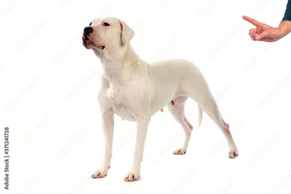 Fototapeta Argentinian Mastiff Dog, Femame against White Background, Obedience