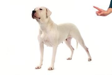 Argentinian Mastiff Dog, Femame against White Background, Obedience