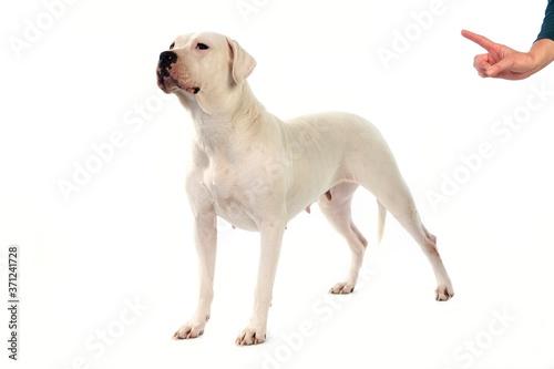 Fotografia Argentinian Mastiff Dog, Femame against White Background, Obedience