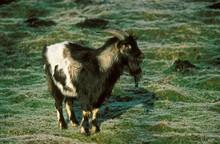Billy Of Dwarf Goat Or Pygmy G...