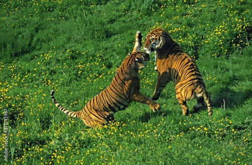 Foto Bengal Tiger, panthera tigris tigris, Adults fighting