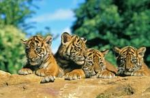 Sumatran Tiger, Panthera Tigris Sumatrae, Cub Standing On Rock