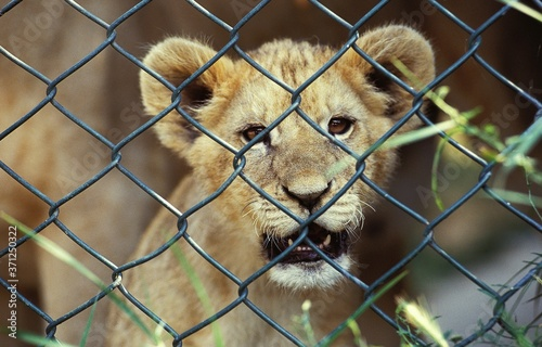 African Lion, panthera leo, Cub in Cage Wallpaper Mural