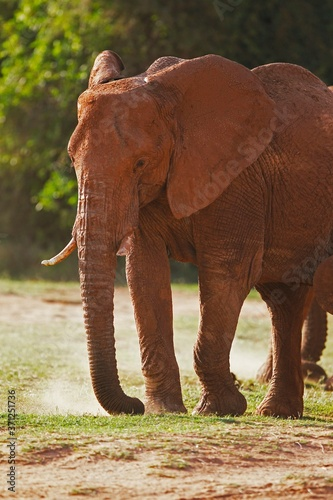 African Elephant, loxodonta africana, Adult having Dust Bath, Samburu Park in Kenya Wall mural