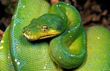 Green Tree Python, Morelia Viridis