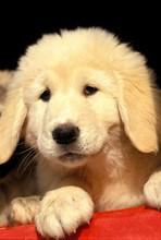 Anatolian Shepherd Dog, Portrait Of Pup