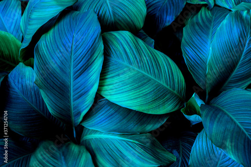 Fotografiet leaves of Spathiphyllum cannifolium, abstract green texture, nature background,