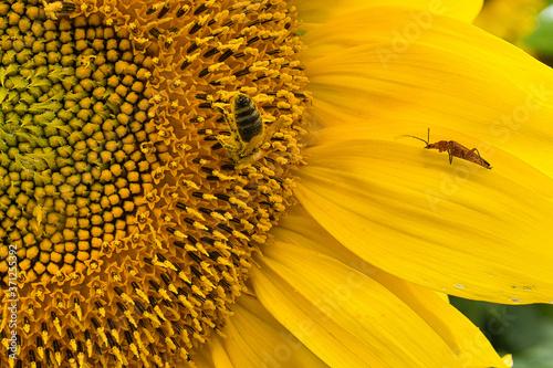 Leinwand Poster Biene in der Sonnenblume beim Blütenstaub sammeln