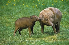 Babirusa, Babyrousa Babyrussa, Mother With Young