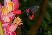 Scarlet Mormon Butterfly, Papi...