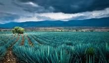 Agave Mezcal Tequila Jalisco Maguey
