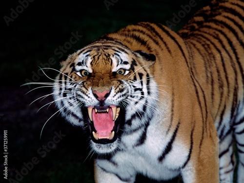 Siberian Tiger, panthera tigris altaica, Portrait of Adult Snarling, in Defensiv Fotobehang