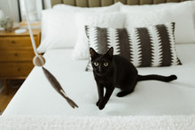 Black Cat Staring Wide-Eyed At Cat Toy