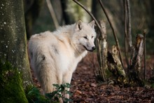 Arctic Wolf, Canis Lupus Tundrarum