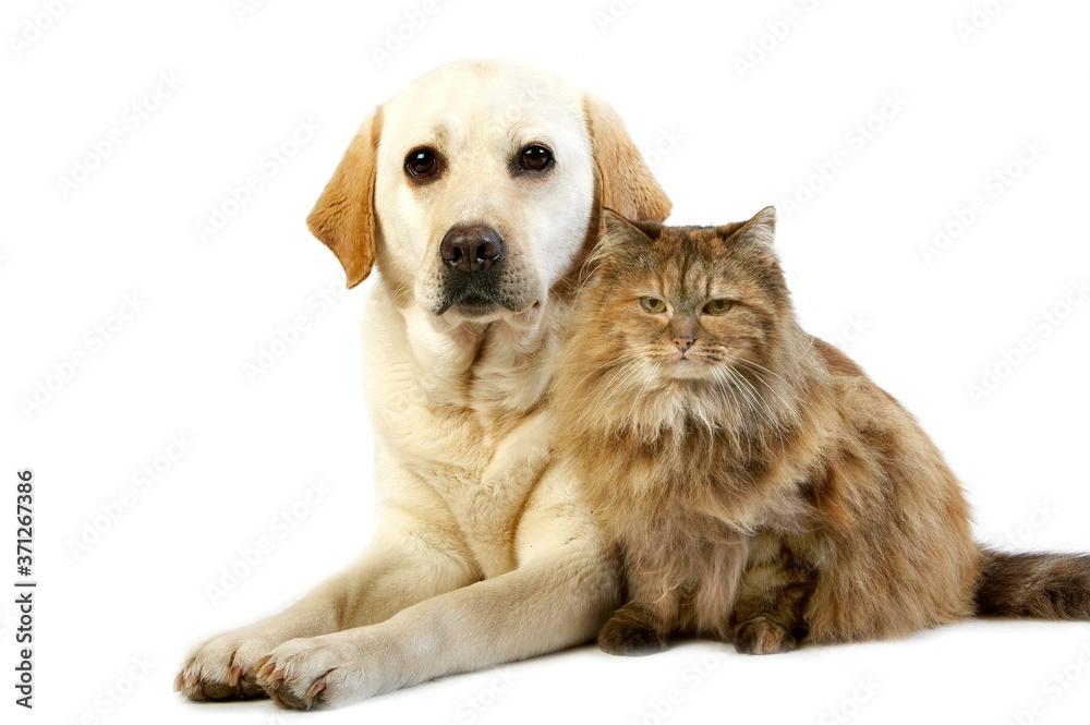 Fototapeta Yellow Retriever Labrador Female and Tortoiseshell Persian Domestic Cat against White Background