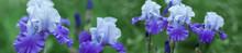 Panorama Beautiful Purple Iris...
