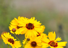 Close Up Of Coreopsis Tinctoria (Plains Coreopsis, Calliopsis) A Species Of Flower In The Asteraceae Family. Flower Heads Are Brilliant Yellow With Maroon Or Brown Disc Florets Of Various Sizes