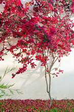 Bougainvillea Flowers Near The Wall