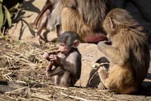 A Baby Hamadryas Baboon Playing Outside With Their Family Unit