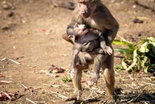 A Baby Hamadryas Baboon Playin...