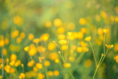 Fotografie, Obraz Silverweed, Potentilla anserina yellow flower in the green grass