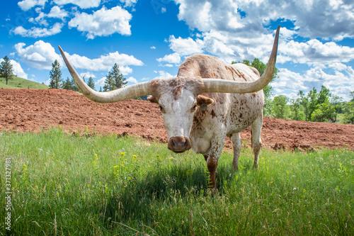Foto Longhorn
