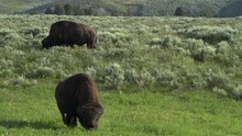The Wild American Bison Is One...