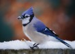 Awesome extreme close up portrait of a blue jay with snow on its beak