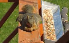 Funny Eastern Fox Squirrel (Sc...