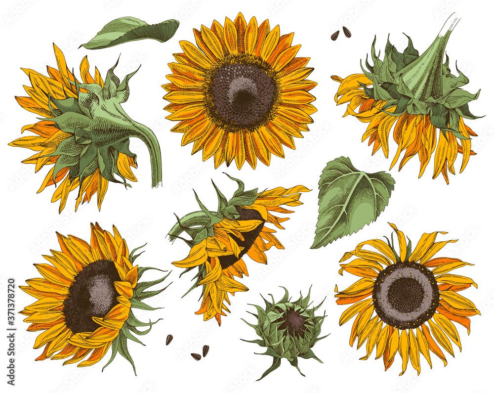 Fototapeta Hand drawn sunflowers set