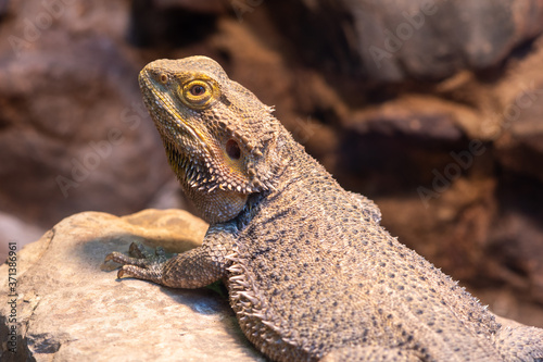 Canvas-taulu Close up of a central bearded dragon (pagona vitticeps) in captivity